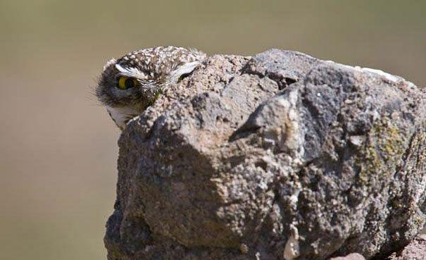 Gufo nascosto nella roccia