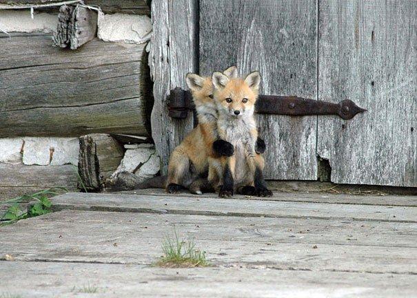 Volpi piccoline