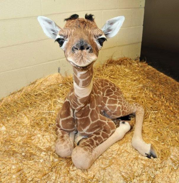 giraffa appena nata