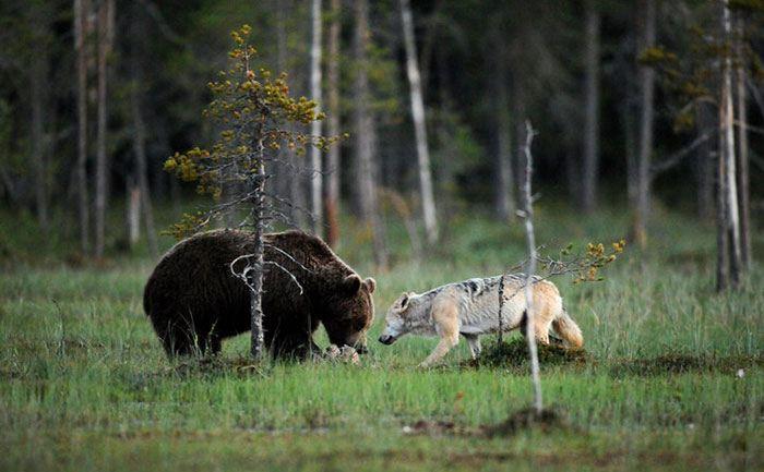lupo e orso che mangiano insieme