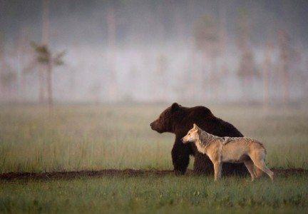 immagini Orsi e lupi