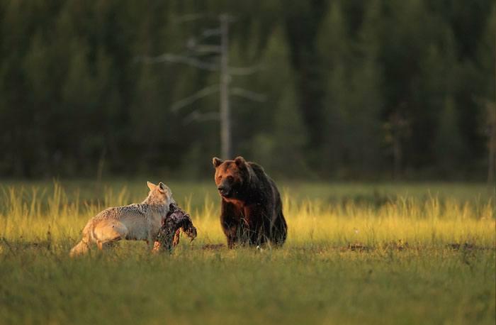 orso e lupo che giocano