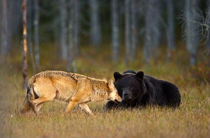 orso e lupo