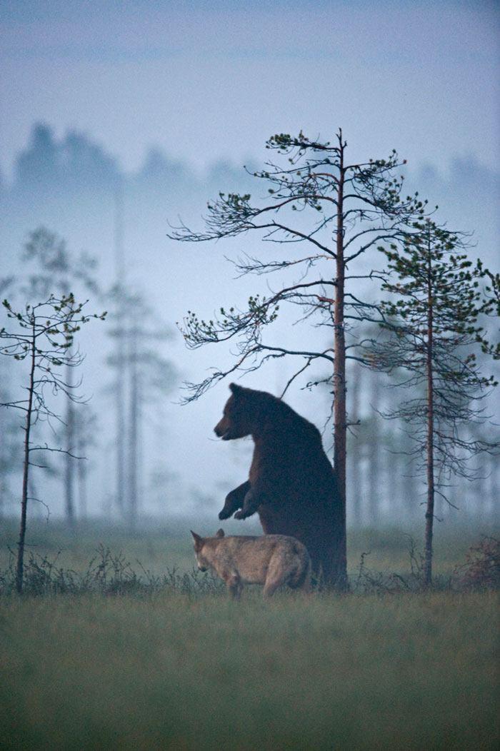 L'orso e il lupo amici