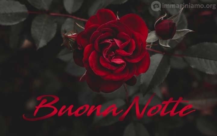 Immagini romantiche buona notte rosa rossa